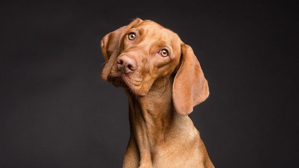 Los perros son capaces de entender gestos humanos complejos de forma espontánea, según un estudio