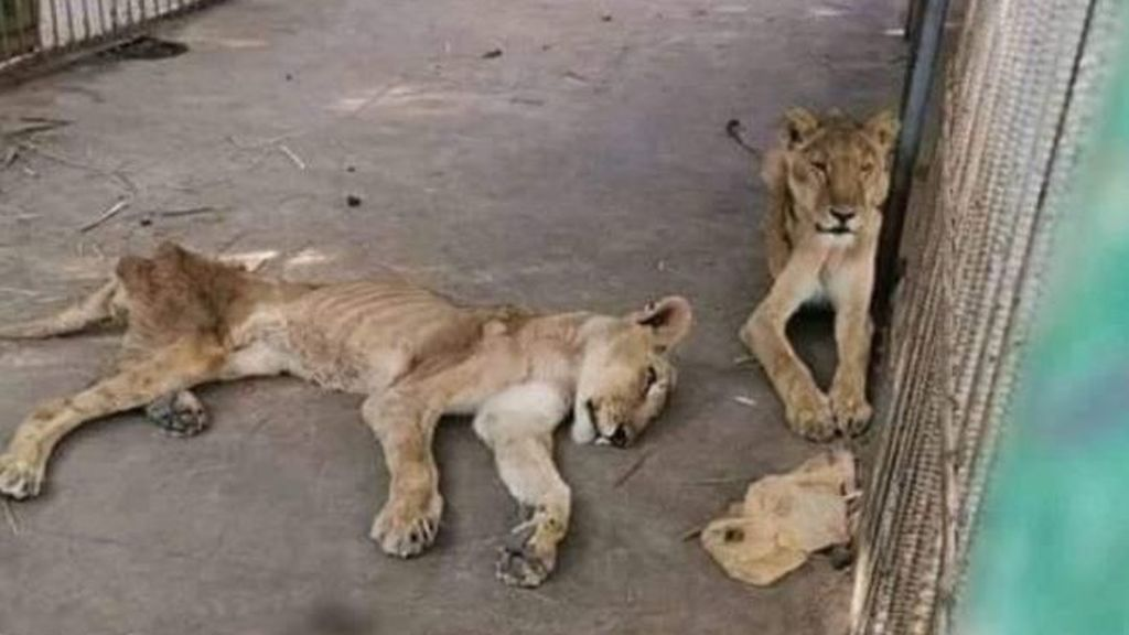 La imagen de estos leones en el peor zoo del mundo que indigna en las redes