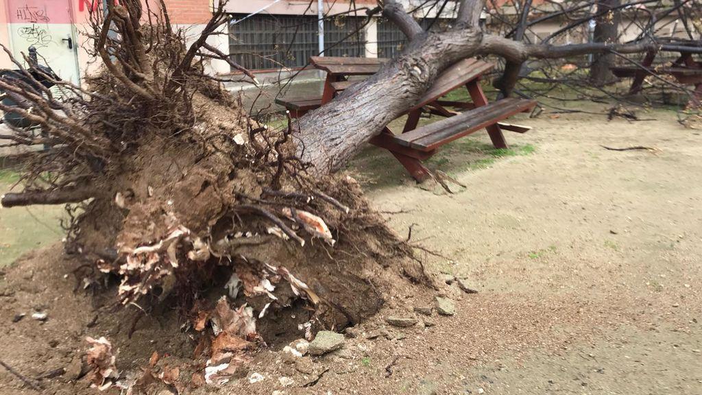 El viento arranca este árbol de raíz en el Maresme