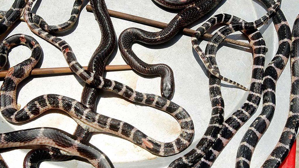 Los investigadores creen que fueron las serpientes las que transmitieron el coronavirus a las personas