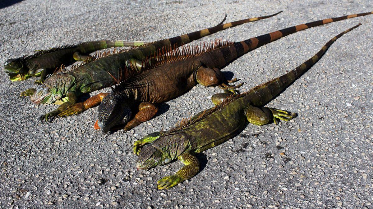 Las iguanas caen de los árboles en Florida