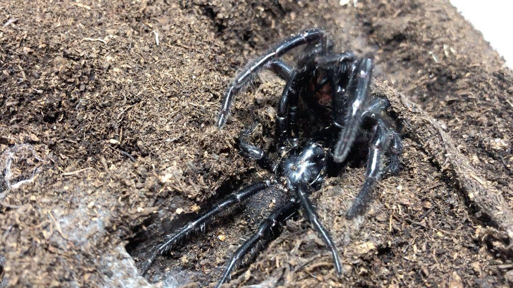 Calor y humedad: se espera una plaga de arañas en Australia por cuestiones meteorológicas