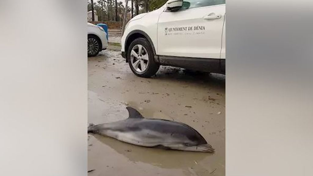 Las consecuencias que ha dejado 'Gloria': aparecen siete delfines varados en Valencia