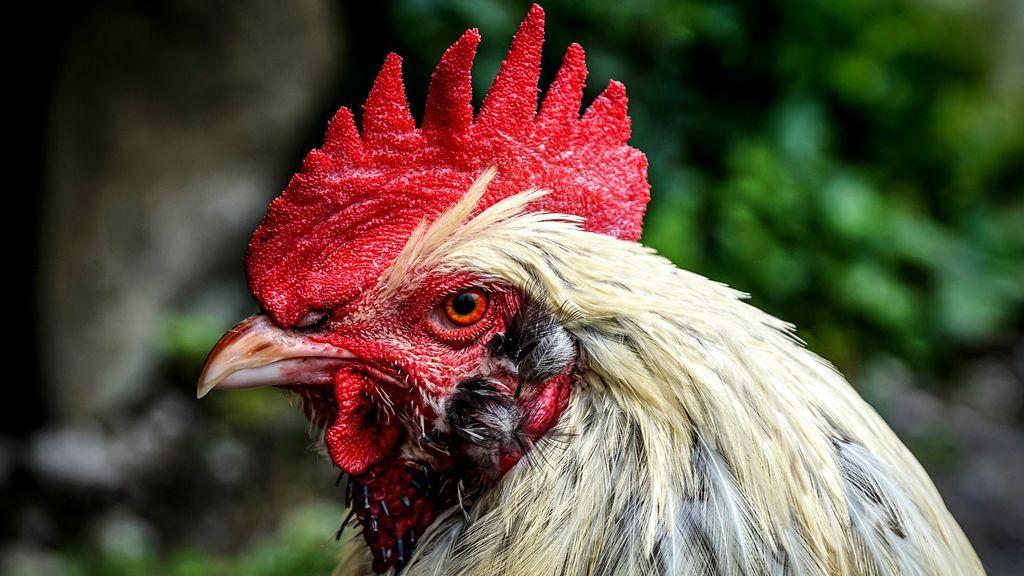 Un gallo de pelea mata a su dueño tras atacarle con la cuchilla de su garra en la India