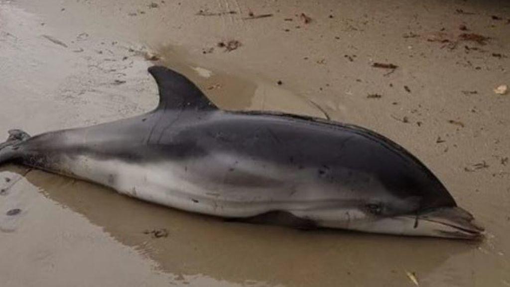 Bebés de delfín en las calles de Dénia: otro triste desenlace del temporal