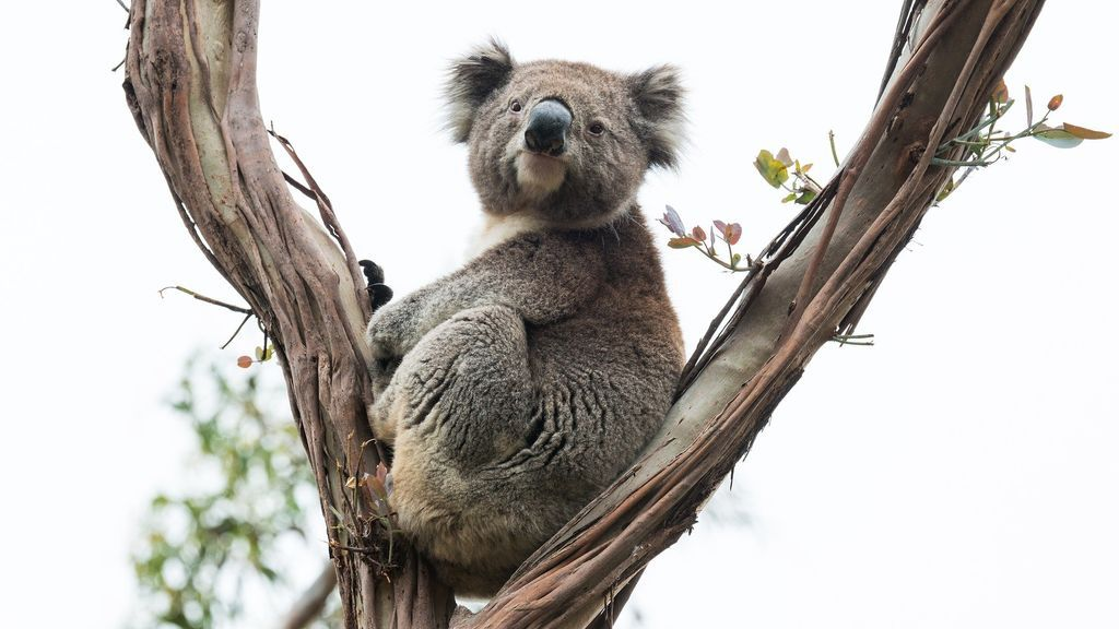Manos a la obra para salvar al koala: secuencian su genoma por el peligro a que desaparezca