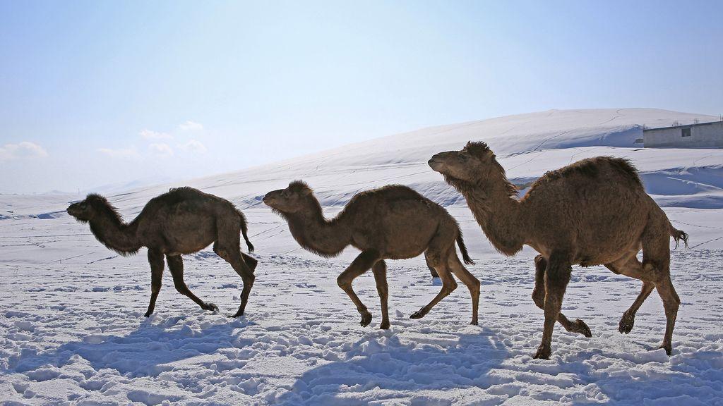 Camellos en la nieve: el invierno llega con fuerza al desierto de Jordania