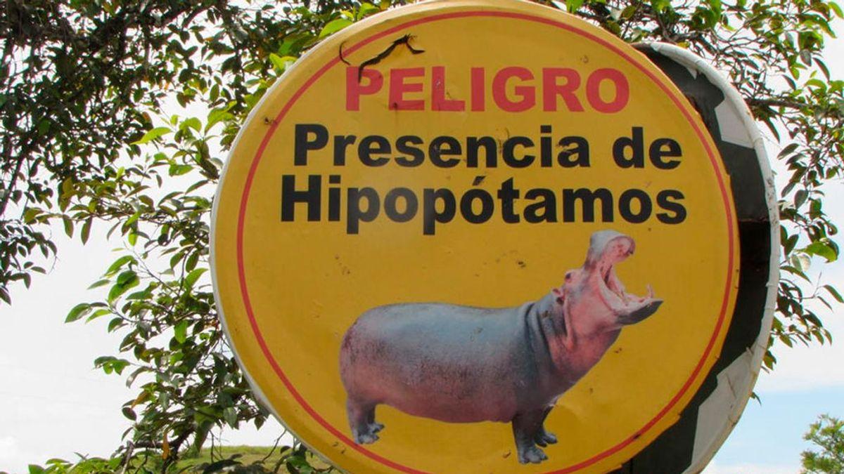 Los hipopótamos de Pablo Escobar, una exótica especie invasora en Colombia