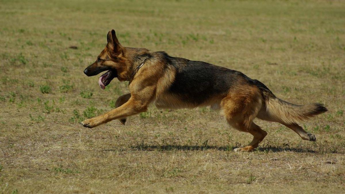 La Policía Local de Palma de Mallorca da en adopción a los perros de su Unidad Canina