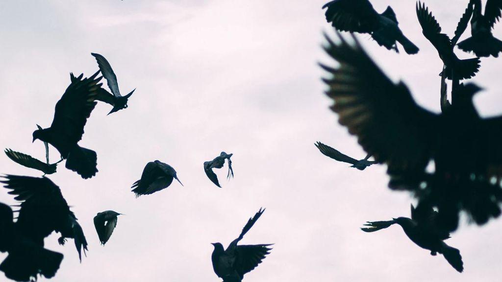 Se asocia al coronavirus una plaga de cuervos y mosquitos enormes en la zona cero de China