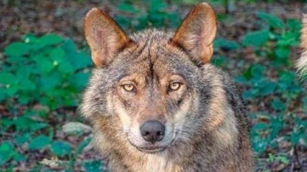 La diputación de Álava manda matar al único lobo ibérico que queda en la zona