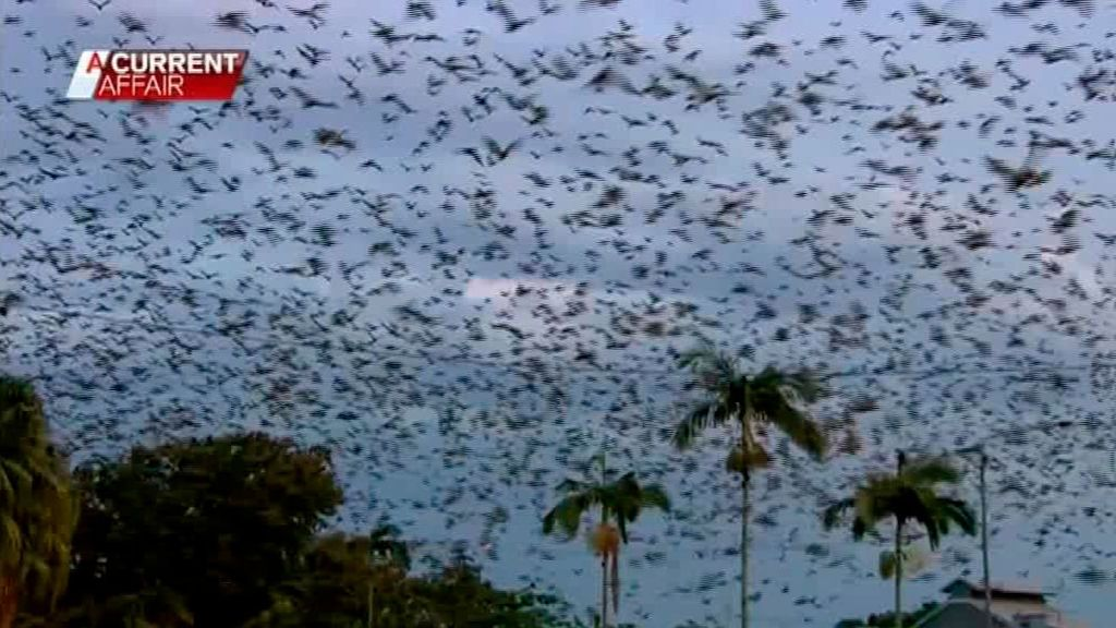 Una plaga de murciélagos asedia el pueblo australiano de Ingham