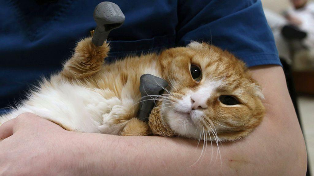 El gato tiene cuatro prótesis de titanio