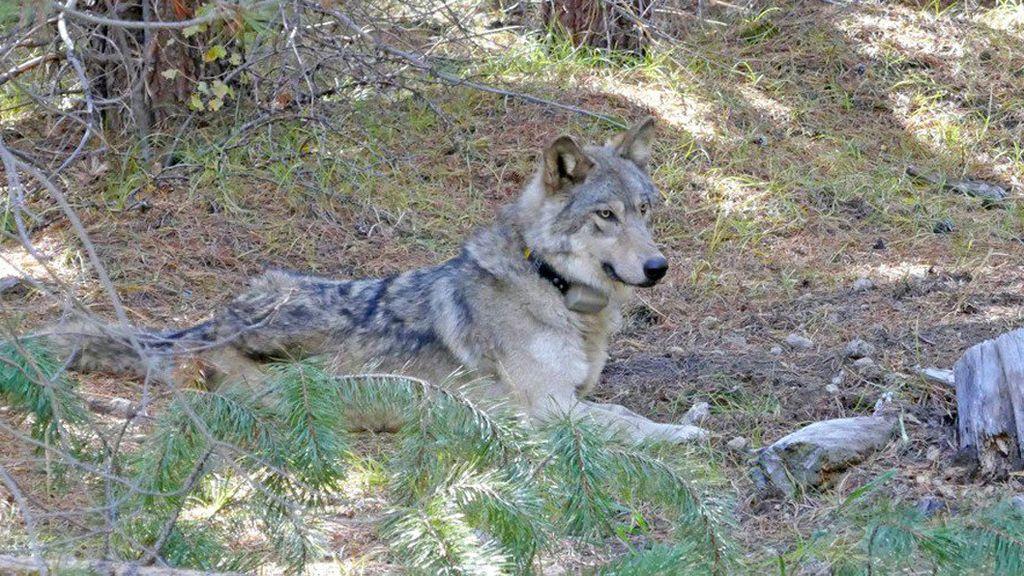 Una loba en peligro de extinción muere tras recorrer 14.000 kilómetros en busca de pareja