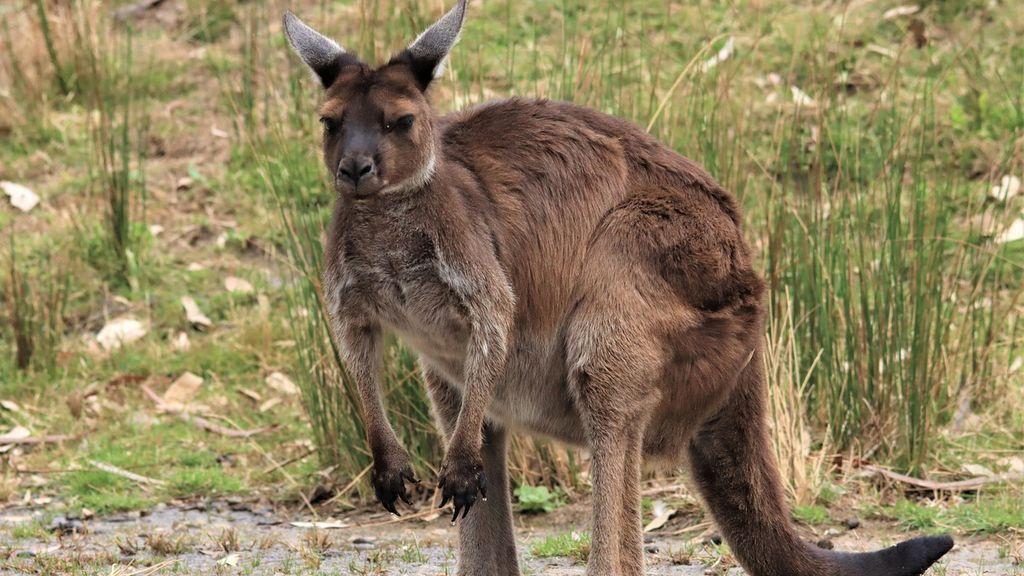 El brutal ataque de un marsupial a un niño de cuatro años: ha tenido que recibir 25 puntos