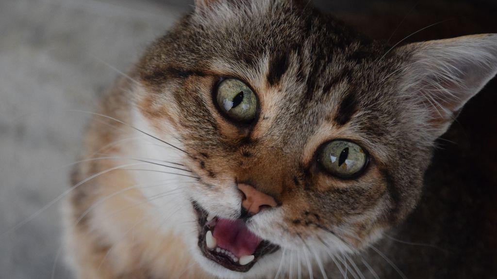 Un gato salva la vida a su dueña en un incendio tras morderle el cuello para hacerla despertar