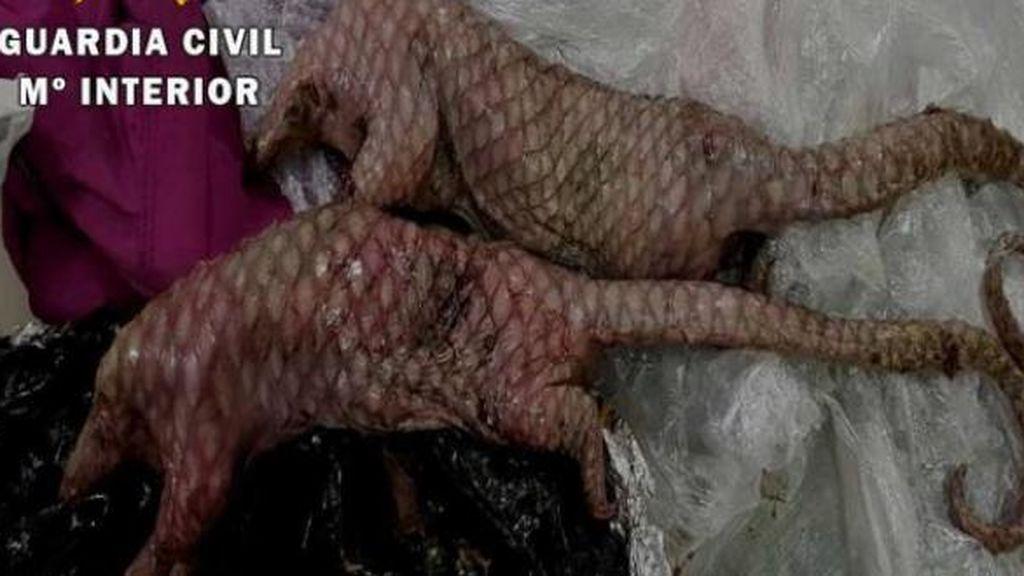 Encuentran en la maleta de una joven dos ejemplares muertos de Pangolín en Barajas