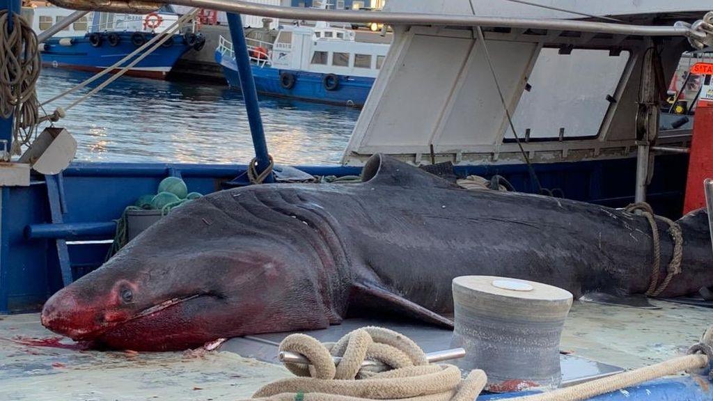 Pescan un tiburón peregrino de 7 metros en Tarragona, especie que se encuentra en peligro de extinción