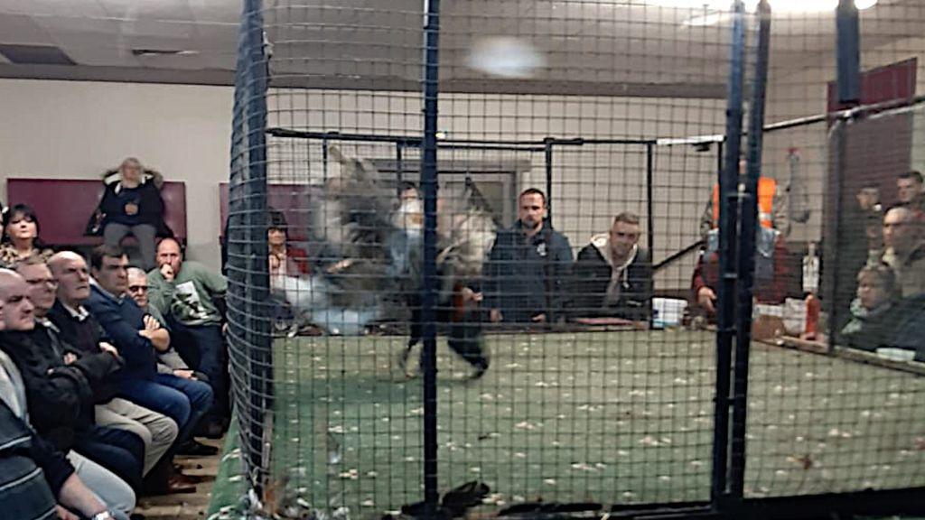 Una pelea de gallos en la región francesa de Calais