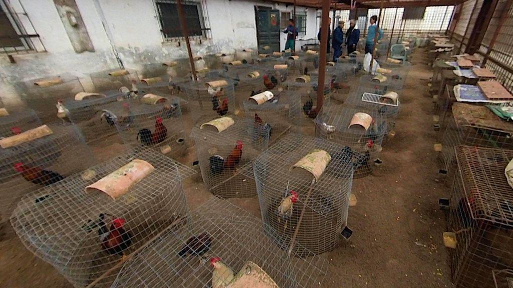 Un criadero de gallos