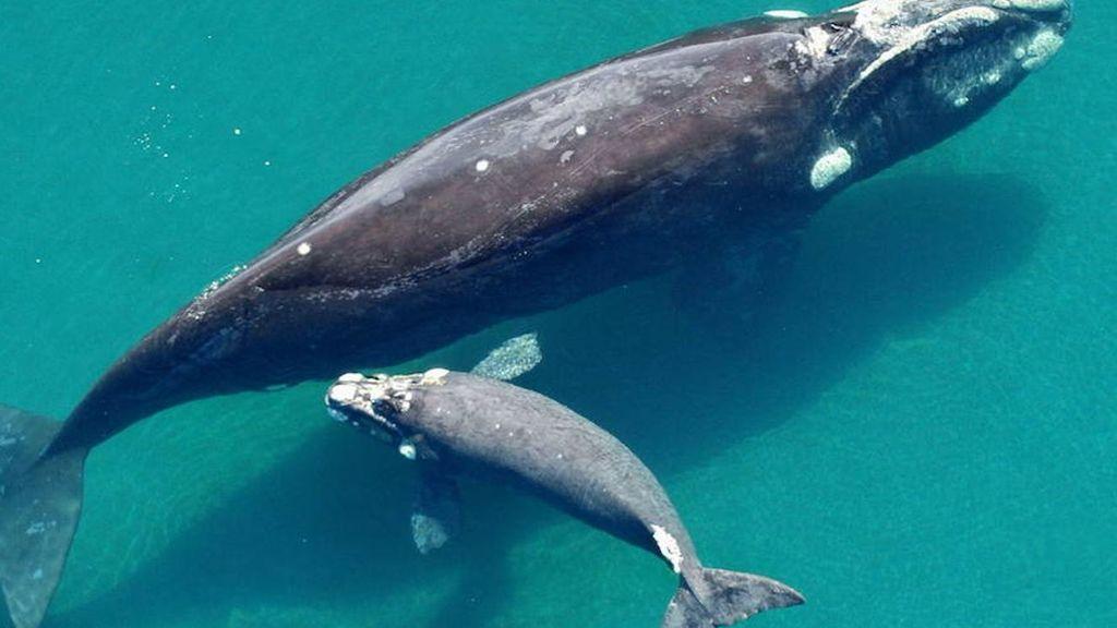 Las ballenas azules