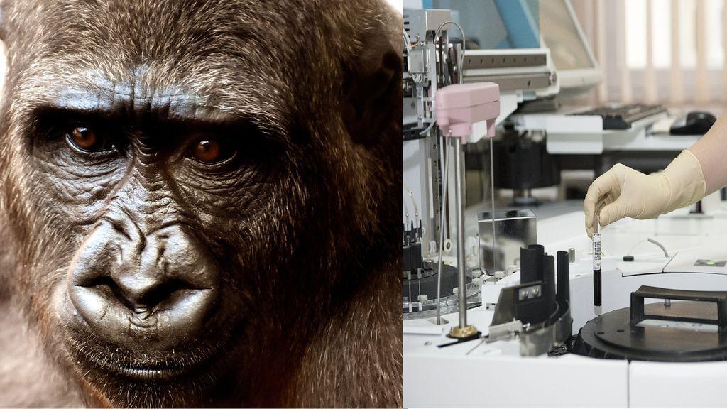 Inyectan virus letal del coronavirus a monos de laboratorio para encontrar una vacuna