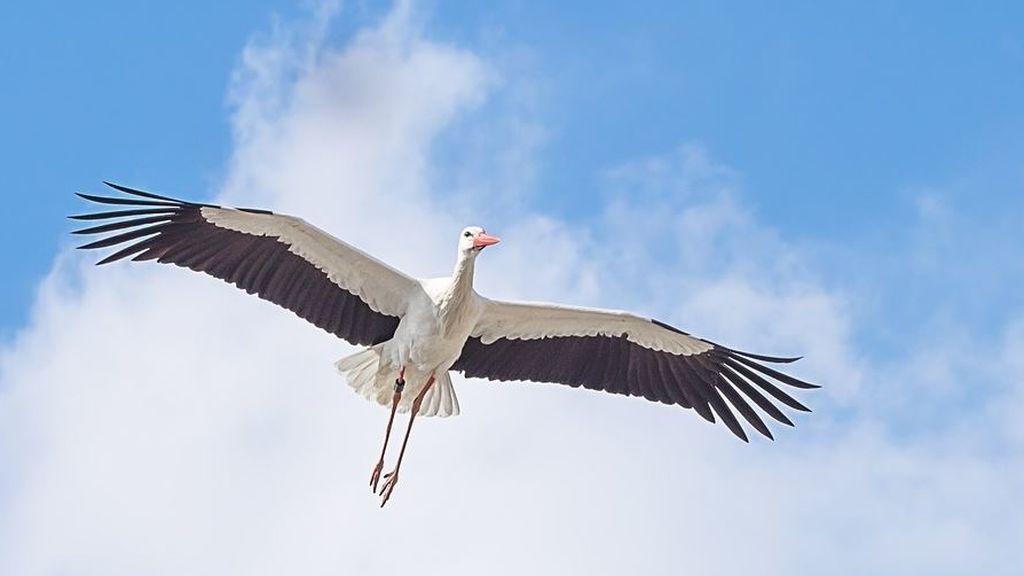 Un nuevo estudio lo demuestra: las cigüeñas dejan de volar a África y se quedan en España