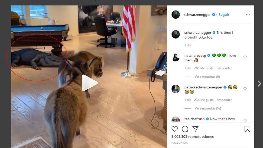 Un caimán en el despacho de Schwarzenegger