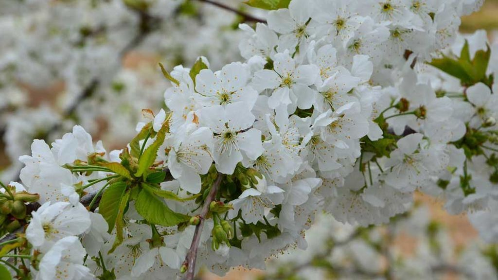 Flor del cerezo del Valle del Jerte