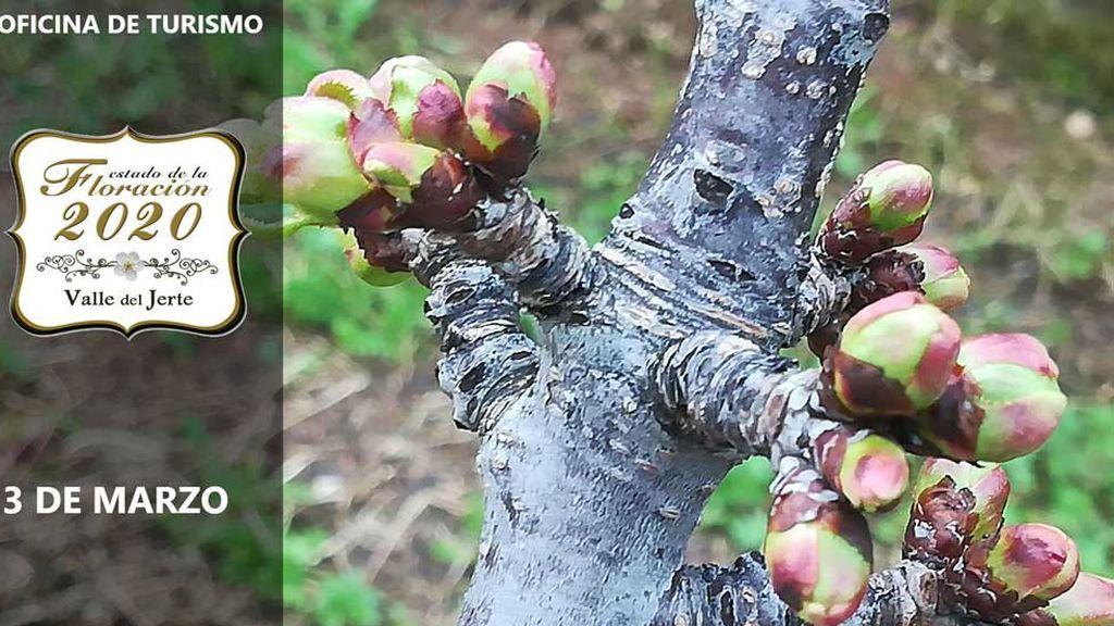 Imagen de los brotes de cerezo en el Valle del Jerte