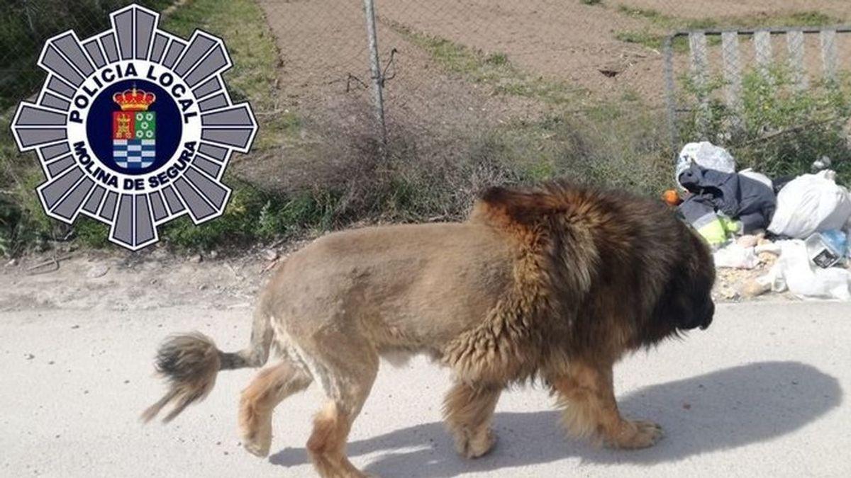 La Policía recibe varios avisos de la presencia de un león en el municipio murciano de Molina del Segura