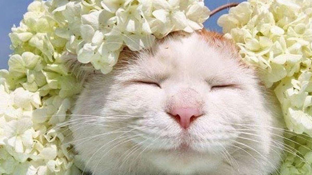 Muere Shiro, el gato más tranquilo y relajado del mundo