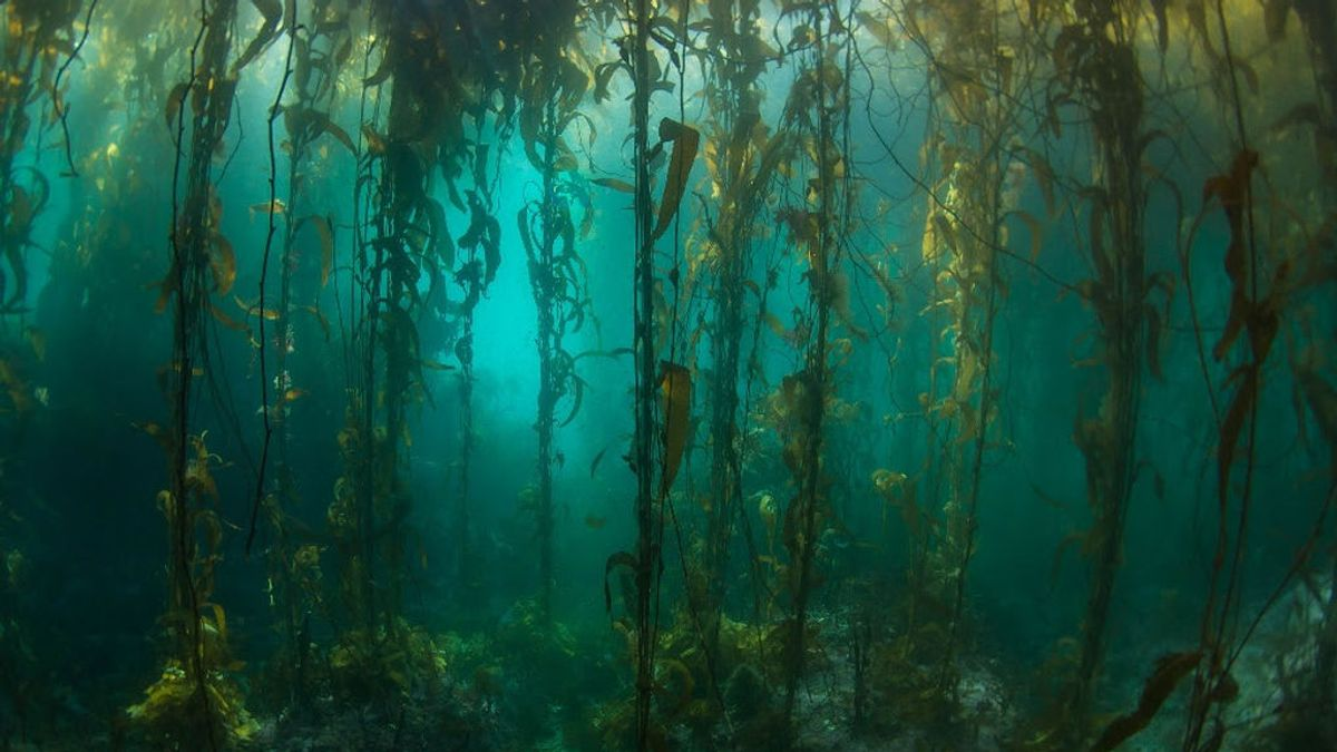 Un bosque de algas marinas en Argentina no cambia en 45 años