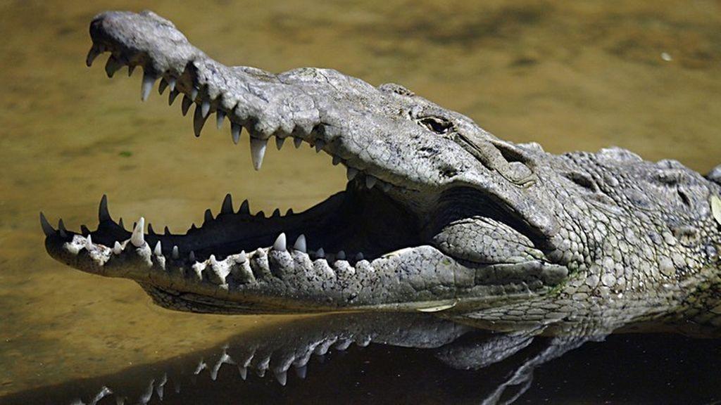 La clave de la resistencia de los cocodrilos a las peores condiciones: son los mejores padres