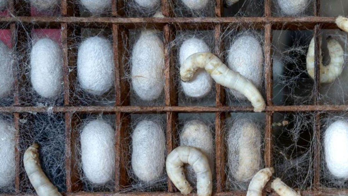 Hilamos la seda de gusano para cultivar neuronas