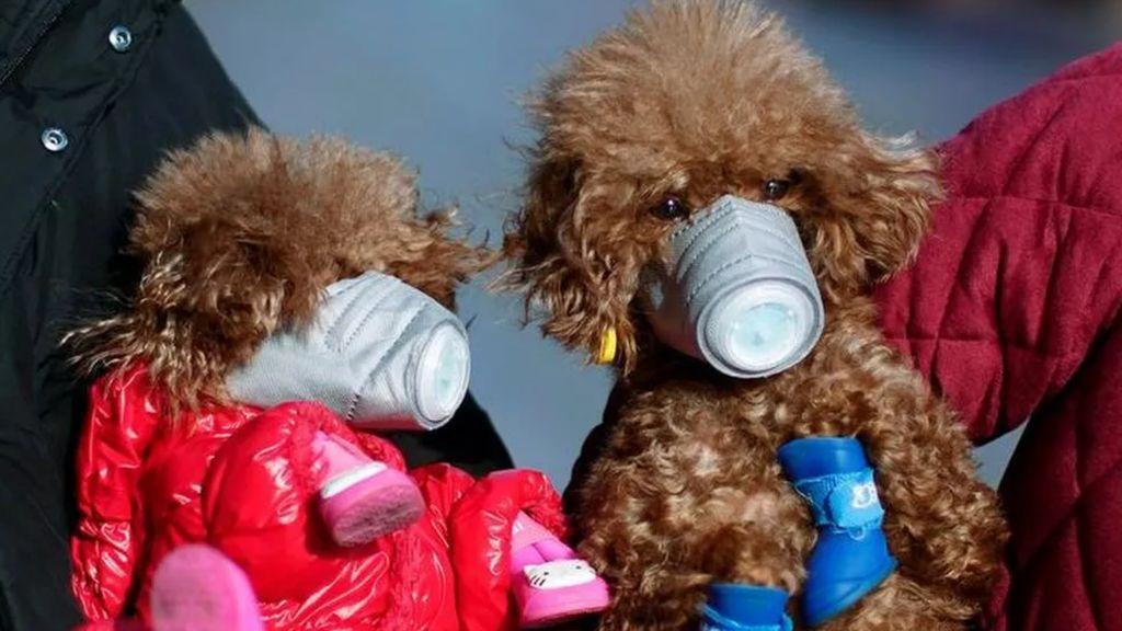 Muere el perro de Hong Kong que dio positivo en coronavirus