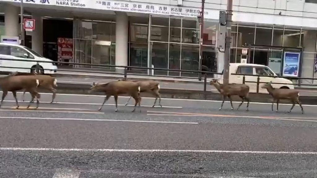 Ciervos en Japón, gaviotas en Benidorm y delfines en Venecia: los animales se echan a la calle con la cuarentena