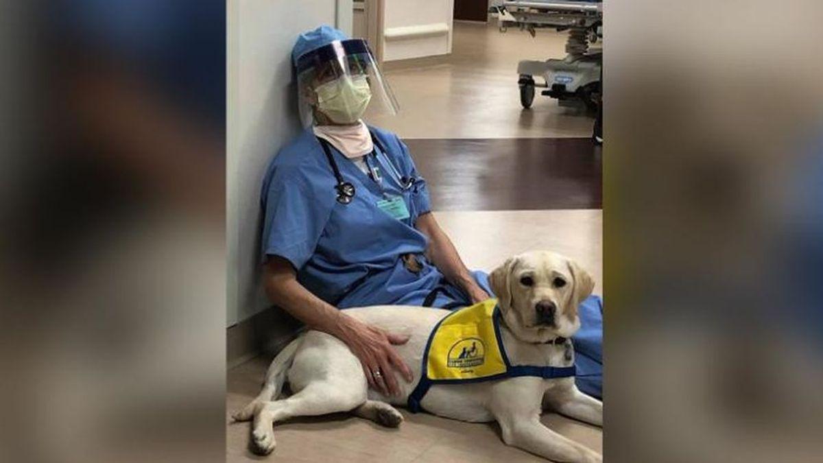 Wynn, el perro de terapia que anima a los médicos exhaustos por la lucha contra el coronavirus