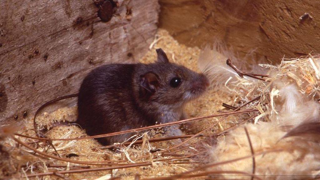 Los roedores, el principal transmisor del hantavirus