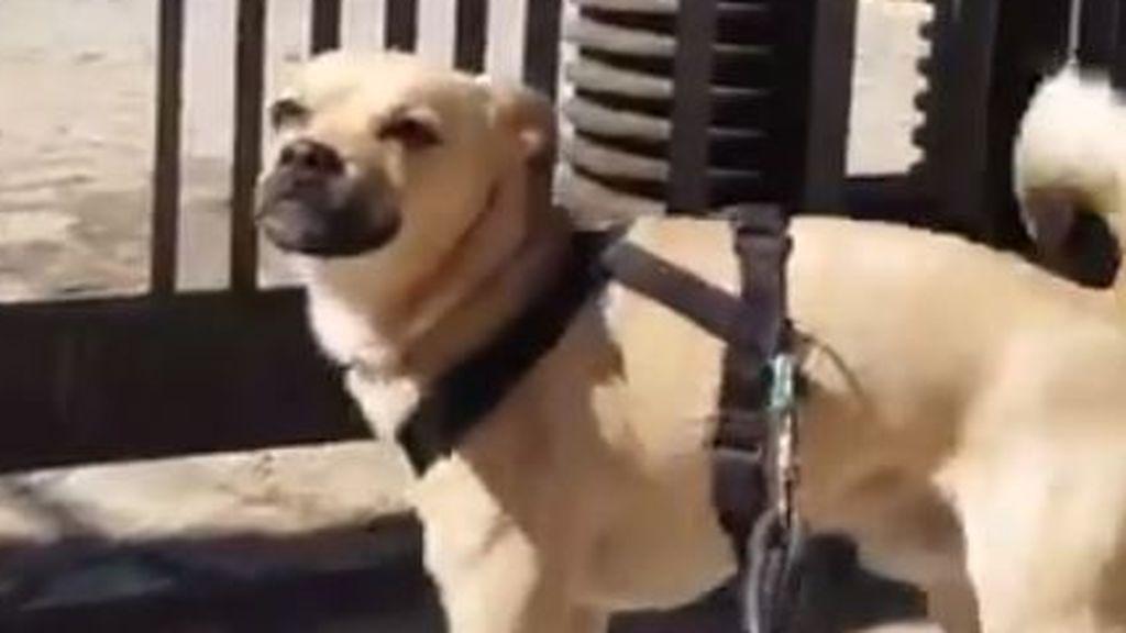 La triste reacción de un perro al encontrarse cerrado el parque por el coronavirus