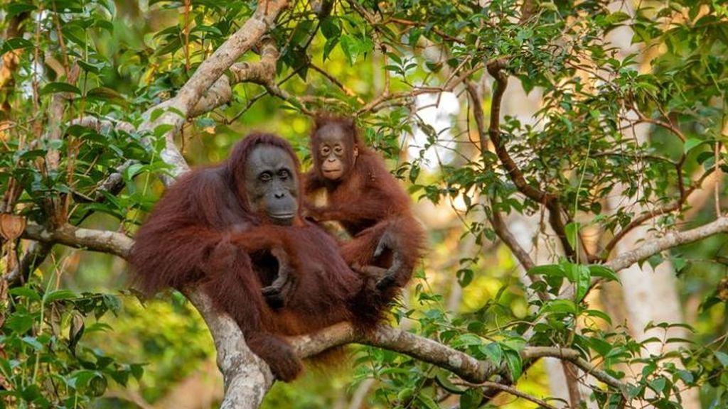 Temor por los orangutanes: miedo a que el coronavirus les afecte radicalmente