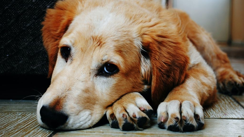 El aislamiento y los paseos cortos alteran a los perretes: cómo estimularlos en casa