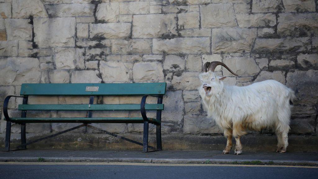 Animales en cuarentena: ratas que comen McDonald's, cabras desesperadas y más