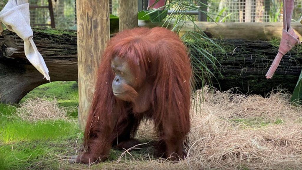 Coronavirus en orangutanes: los centros de protección les enseñan a lavarse las manos para evitar el contagio