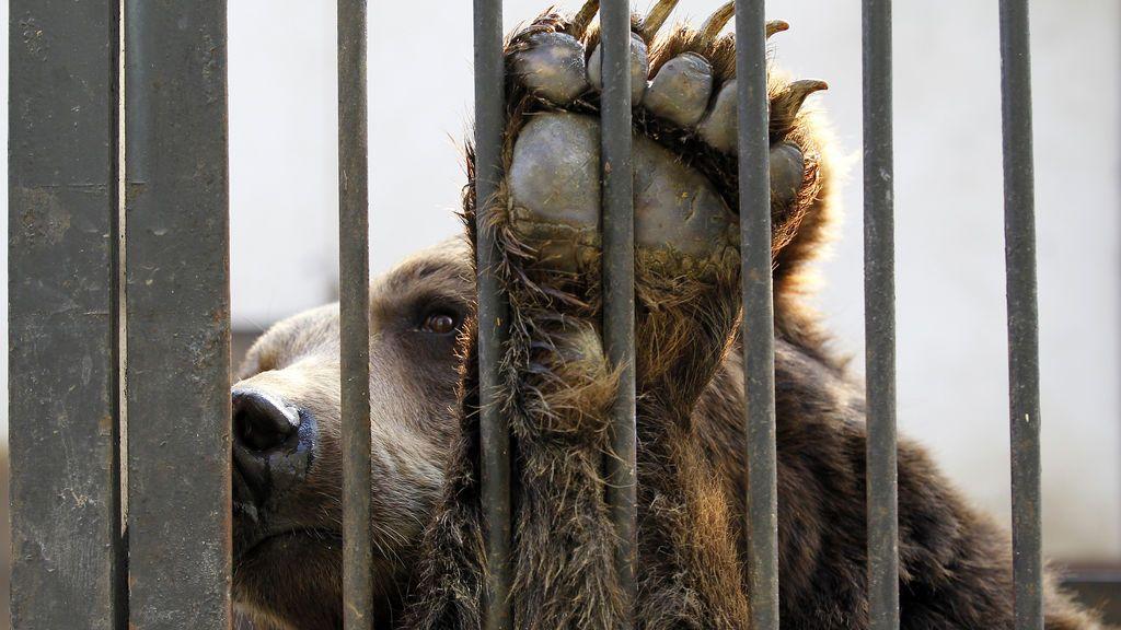 Bilis de oso contra el coronavirus: la controvertida recomendación del Gobierno chino