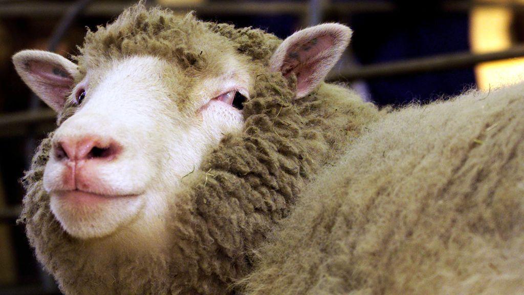 Los científicos que clonaron a la oveja Dolly trabajan en un tratamiento contra el coronavirus