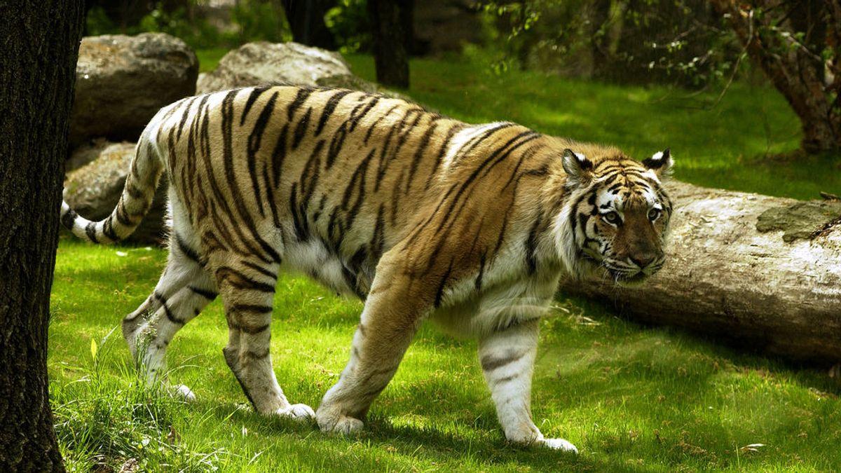 Un tigre en el zoo del Bronx de Nueva York da positivo por coronavirus
