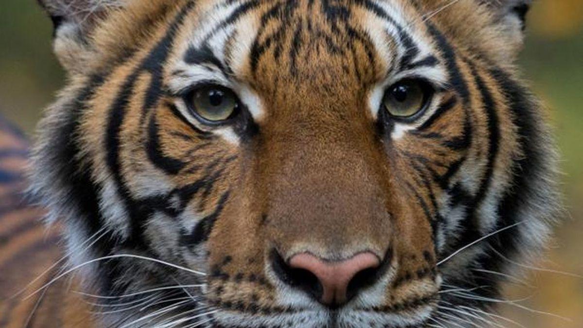 Un tigre del zoo del Bronx, en Nueva York, da positivo por coronavirus