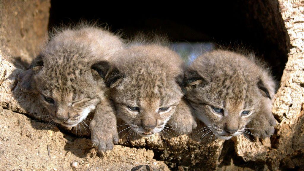 El lince ibérico se recupera: las nuevas crías de Doñana, en directo