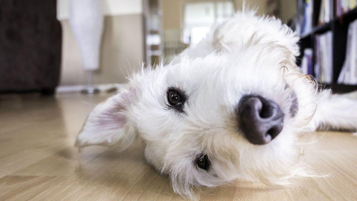 Cuando los paseos no son posibles... evita que tu perro orine en casa